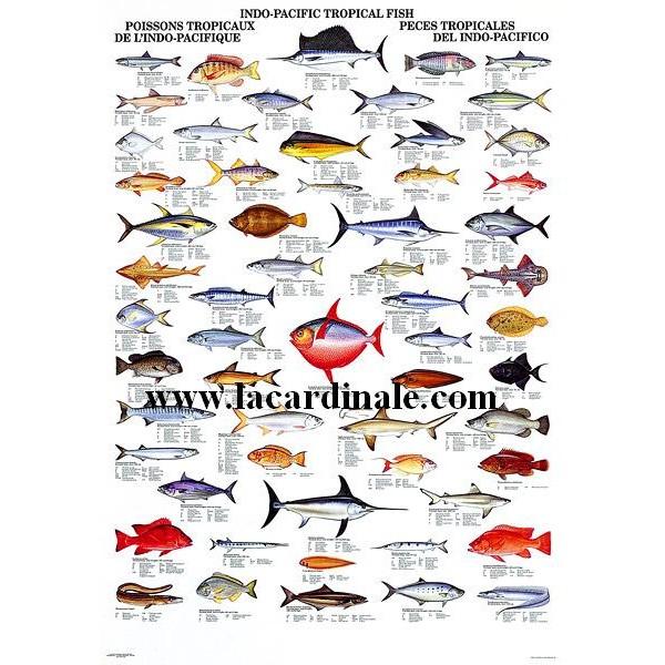 Poster poissons tropicaux de l 39 indo pacifique indo for Poisson tropicaux