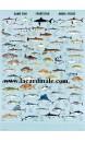 Poster Poisson de pêche à la ligne - Game Fish