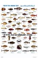 Poster Poisson du Golfe Persique - Fish of the Arabian Gulf