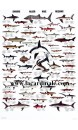 Poster Requins - Sharks