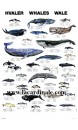 Poster Baleines - Whales