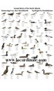 Poster Oiseaux de la Côte Atlantique - Coastal Birds of the North Atlantic