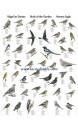 Poster oiseaux des jardins - Birds of the Garden